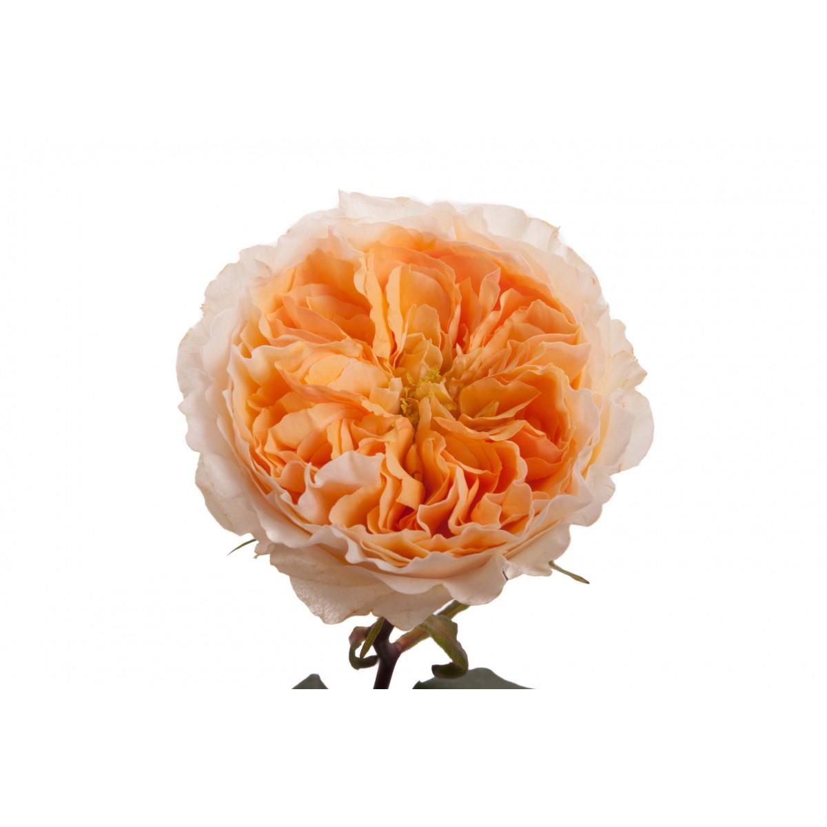Roses In Garden: AusWest Petals